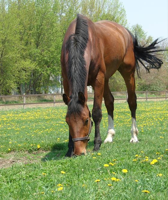 Horse grazing in pasture at Equine All-Sports Medicine Center